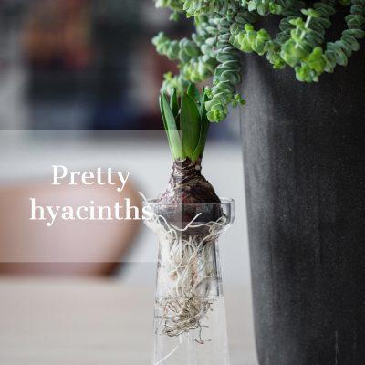 Pretty hyacinths